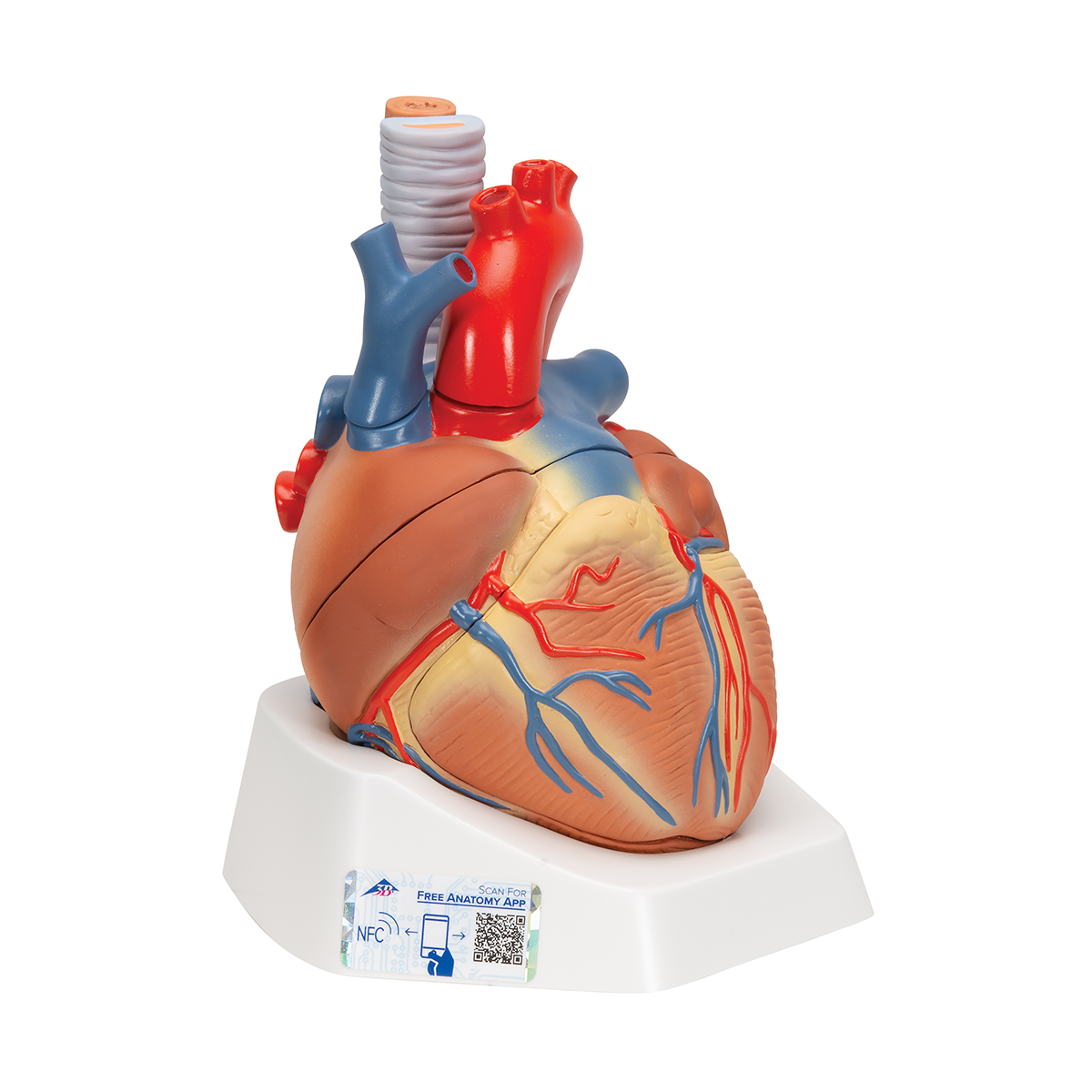 Anatomical Heart Model