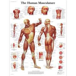 Human Muscles Diagram Labeled Front And Back Nissan Wiring Muscle Chart Poster Musculature 1001470 Vr1118l Zoom