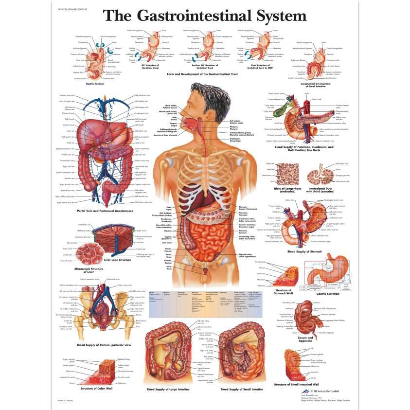 Anatomical Charts and Posters - Anatomy Charts ...