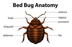 What does a bed bug look like?