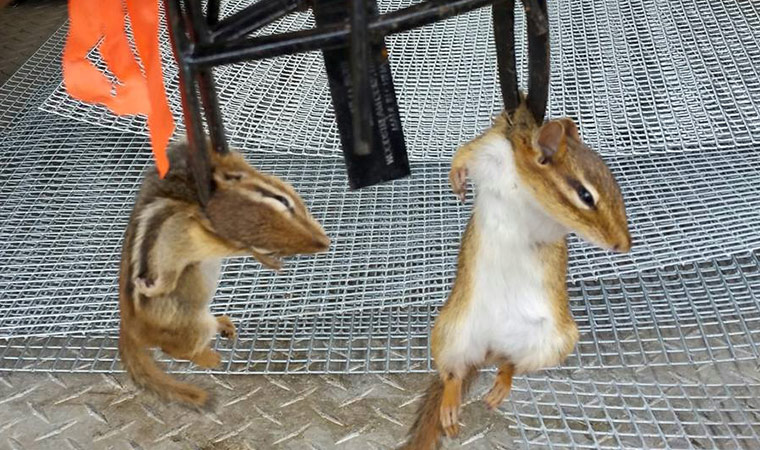 how to kill chipmunks