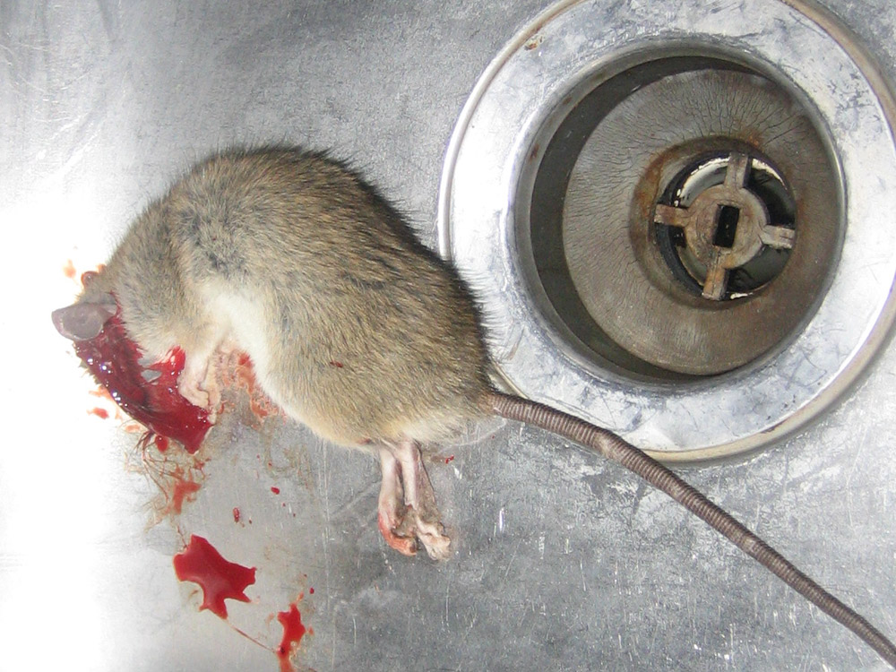 Rat Photograph Gallery  Pictures  Images