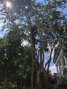 tree pruning vs trimming