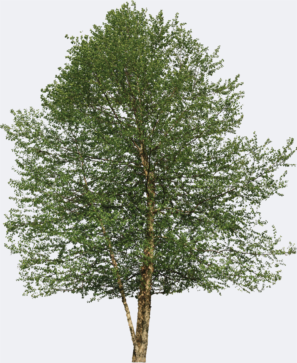 Red Birch Species Page