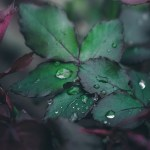 leaves with raindrops, representing mindfulness
