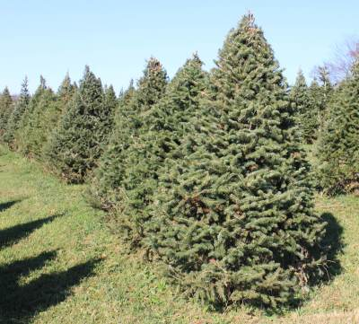 picture of a Canaan Fir tree