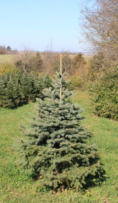 a picture of a Colorado Blue Spruce tree