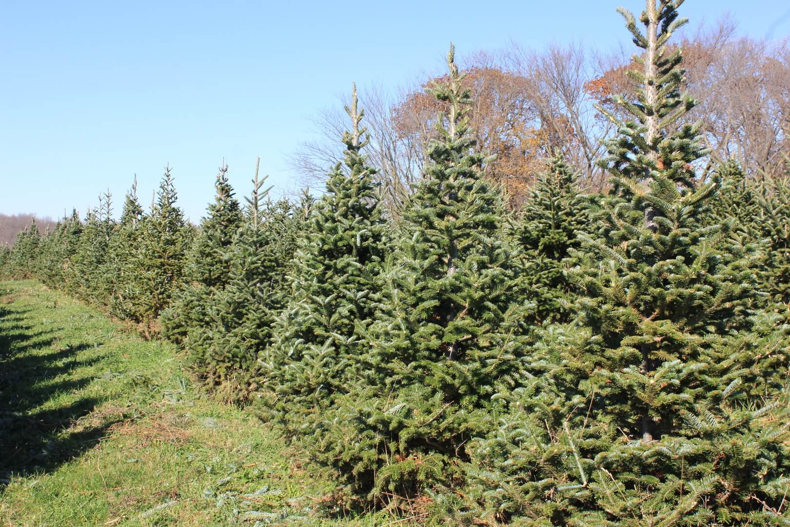 picture of a Fraser Fir tree
