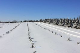 picture of a young Christmas tree (or xmas tree) in snow