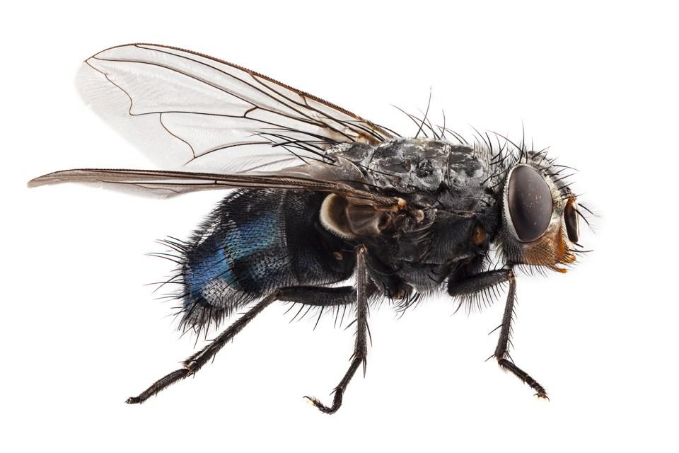 problem with flies