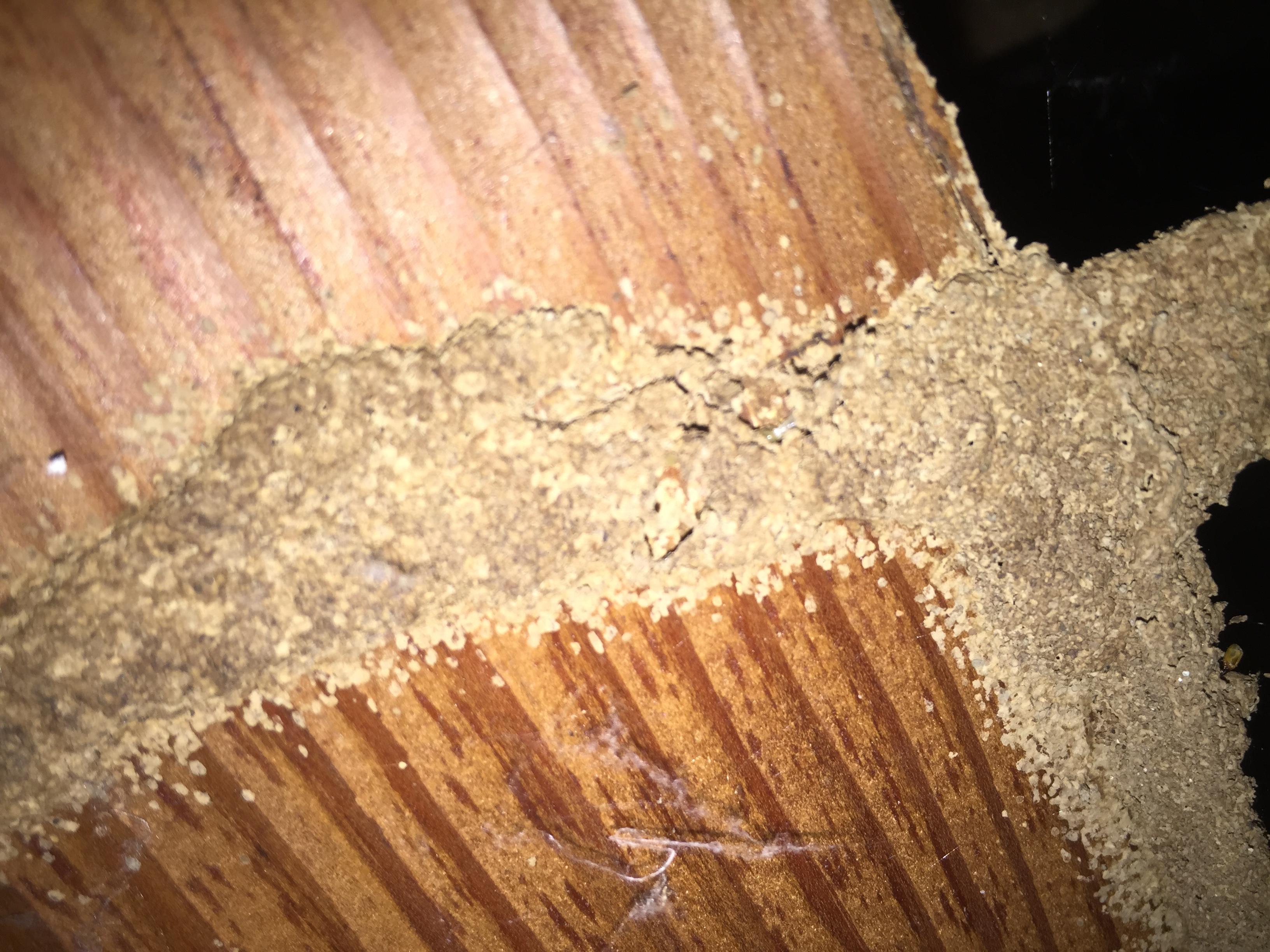 Subterranean termite damage in Modesto