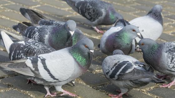 local pigeon control