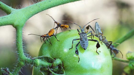 Stink Bug Problem in Stockton