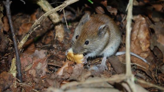 Do Mice Eat Roaches?