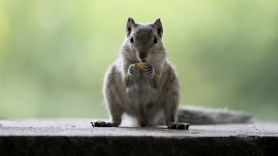 how squirrels and chipmunks break into your home - AAI Pest Control