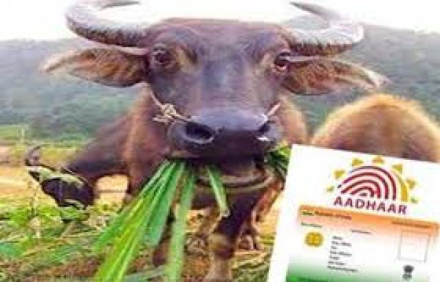 now government of all states will make aadhar card of cow and buffalo