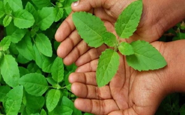 तुलसी के औषधीय गुण पेट दर्द के लिए - Tulsi for stomach ache