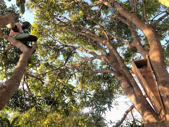 A staff member perched high in a tree installing a wooden box