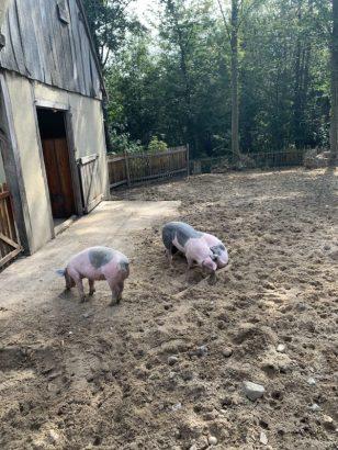 Livar varkens zuid limburg