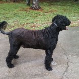 Portuguese-Water-Dog59