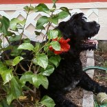 Portuguese-Water-Dog63