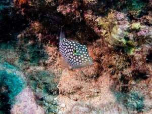 White Spotted Toby - Fish - Oahu, Hawaii