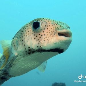 Fish - puffer fish