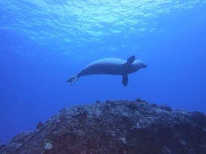 Hawaiian monk Seal (2)