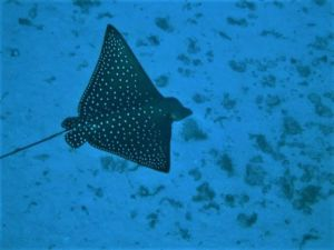 Spotted Eagle Rays1-edited