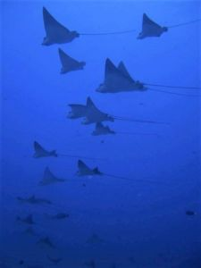 Spotted Eagle Rays7-edited