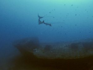 Spotted Eagle ray - wreck