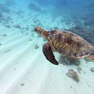 Turtle - Green_turtle_1