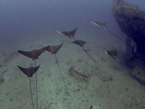 spotted eagle ray - group wreck