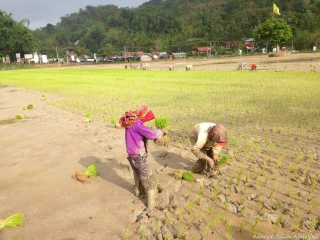 Women plant rice in a muddy rice paddy in Tana Toraja, Indonesia.