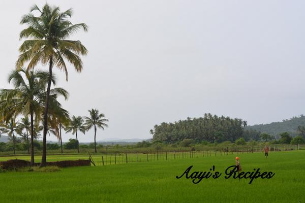 R Clams Healthy paddy fields - Aayis R...