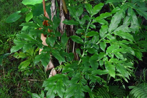 surnu plant