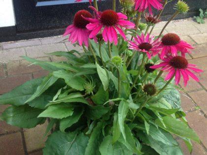 Echinacea Fine Feathered series  AB Cultivars