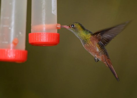 """This hummingbird, photographed at Río Santiago Nature Resort in La Masica, Atlántida, Honduras on 7 Nov 2016 and found during an international birding competition, was initially identified as a Buff-bellied Hummingbird. The rufous lores, postocular spot, and uppertail coverts are suggestive of Rufous-tailed Hummingbird, while the belly is too rufous for either Buff-bellied or Rufous-tailed. Could this be a hybrid Rufous-tailed x Cinnamon Hummingbird? A previous """"Buff-bellied Hummingbird"""" from Honduras, now specimen # 13887 in the Moore Lab of Zoology, turned out to be that hybrid combination. Photo © Richard Crossley."""