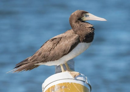 This Brown Booby, Arkansas's seventh, was present from 9 Sep through 4 Oct 2016 on Lake Greeson, Pike County. Photo by © Michael Linz