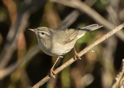 This Dusky Warbler, known to be present in Huntington Central Park in Huntington Beach for less than one hour on 8 October 2016, was the first in Orange County and only the fifth in Southern California. Photo © Dorian Anderson.