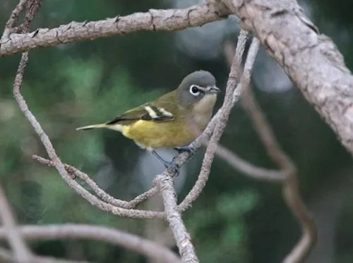 A rare fall migrant, this Blue-headed Vireo was one of three reported this season. Photographed here near Bethune, Kit Carson on 6 Sep 2016. Photo © Glenn Walbek.