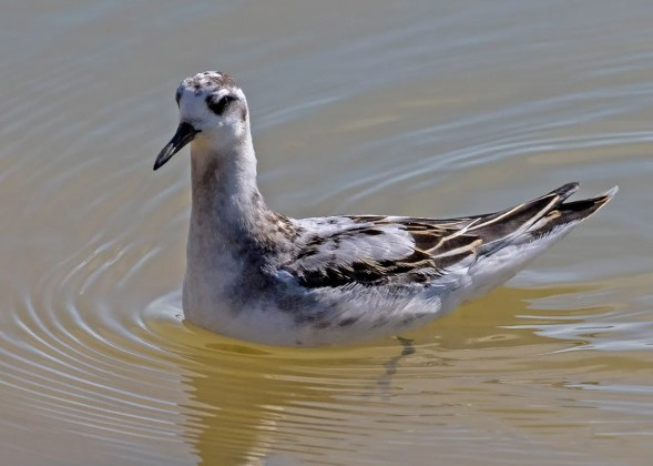 Red Phalaropes are always rare in TN, but most rarely remain for more than a day. To the delight of many birders, this individual lingered at Upper Douglas Lake, Cocke Co for 11 days: 23 Aug–2 Sep 2016 (here 26 Aug). Photo © Ron Hoff.