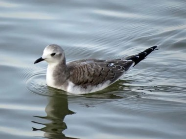This Sabine's Gull lingered at Kitsim Reservoir until 5 November (here 1 November) 2016, providing Alberta with its latest-ever record. Photo © Michael Harrison.