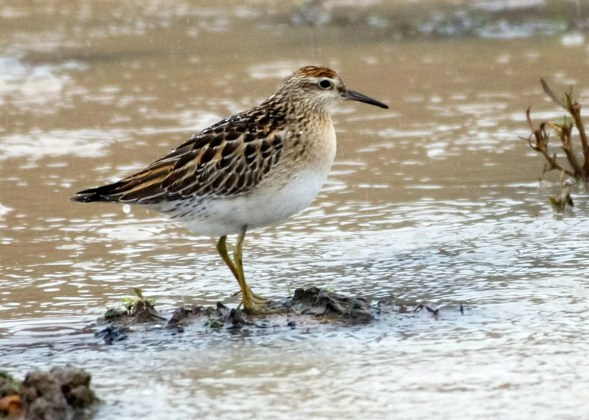 This juvenile Sharp-tailed Sandpiper, new for Panama and Central America, was an exciting find on 16 Oct 2016, when it was picked out from the more common shorebirds at the Finca Bayano/La Jagua Marsh near Chepo, about 30 km east of Panama City. Photo © Jan Cubilla.
