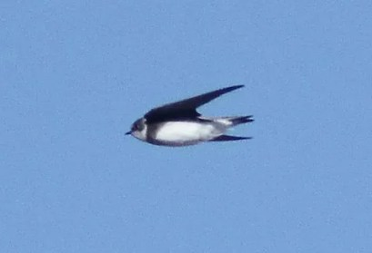 A record late Bank Swallow was seen along the Arkansas River below Pueblo Res., Pueblo from 18-20 Nov 2016, photographed here on 18 Nov 2016. Photo © Brandon K. Percival.