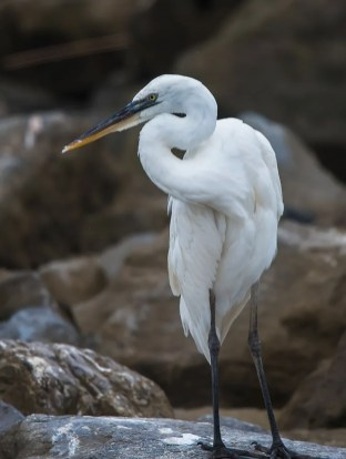 Rarely encountered in Alabama, a long-staying Great White Heron entertained observers this autumn at Dauphin Island, Mobile Co (here 13 Sep 2016). Photo © Karen Chiasson.