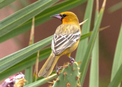 This Streak-backed Oriole, photographed on 24 October 2017 at Desert Center, Riverside County, was known to be present only 23–24 October 2016, and establishes the ninth record for California. Photo © Curtis A. Marantz.