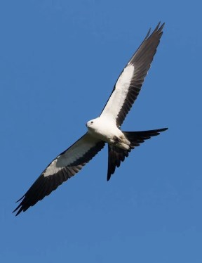 Swallow-tailed Kites are exceptional in the region, so to record 5 this season was extraordinary. This individual was photographed 5 September 2016 in Duncan, Stephens County, Oklahoma. Photograph by © Bill Adams.