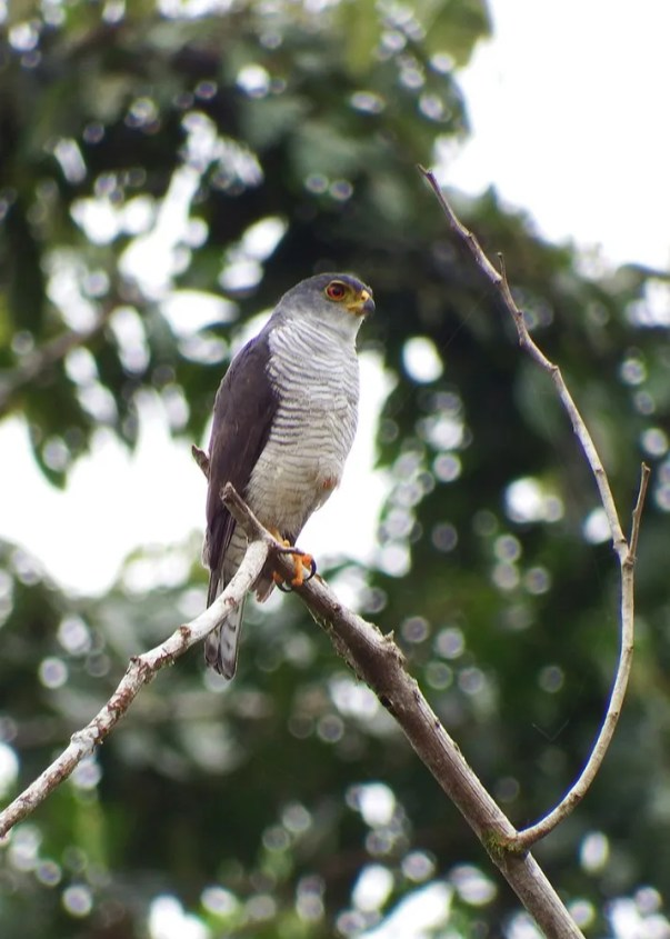 This adult Tiny Hawk represented the northernmost record for this species and a first record for Honduras. 7 Sep 2016. Photo © Mayron Mejía.