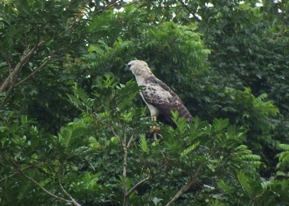 This immature Crested Eagle was a great find on 7 Sep 2016 in the Río Plátano Biological Reserve in the Honduran Moskitia. Photo © Mayron Mejía.